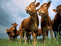 Brazilian beef